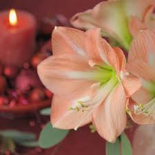 Amaryllis Flowers In Winter The Flamboyant Amaryllis Flowers Have The Power To Amaze