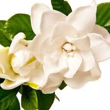gardenia flower crafters choice white gardenia flowers fragrance 98