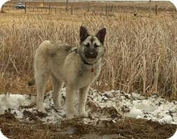 american eskimo dog winnipeg grace adopted dog winnipeg mb german shepherd dog husky mix