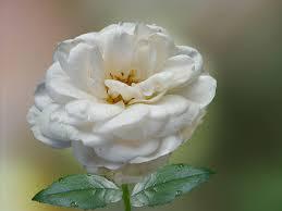 imagenes en blanco y rosa rosa blanco blanca foto gratis en pixabay