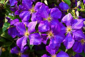 purple flowers 25 purple flower ideas for your garden pots and planters