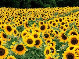 foto wallpaper bunga matahari bidang bunga matahari hd wallpaper desktop layar lebar definisi