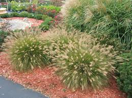 ornamental grasses add with minimum effort