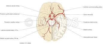Vascular Anatomy Of The Brain Anatomical Diagrams Of The Brain