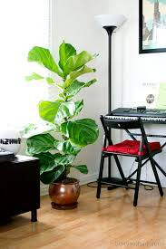 Fiddle Leaf Fig Tree Care by Fiddle Leaf Fig Tree Homey Oh My