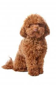 dogs with curly hair and floppy ears brown dog names for your chocolate pooch