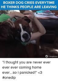boxer dog jokes 25 best memes about boxer dogs boxer dogs memes