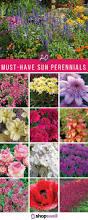 20 of the best sun perennials for your garden perennials