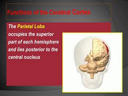 Human Anatomy And Physiology Pdf File Pdf Human Brain