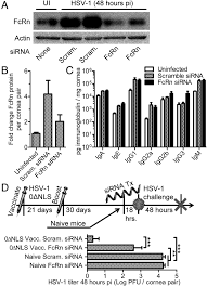 the neonatal fc receptor and complement fixation facilitate