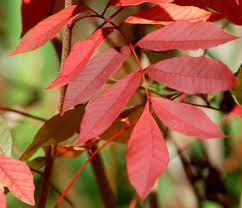 24 poison ivy images poisons poison oak
