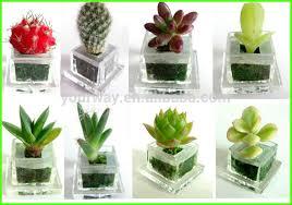 pet tree baby plant mini plant buy pet tree baby plant mini
