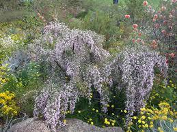 Kings Park Botanic Garden by Sandy U0027s Aussie Photoblog Silky Eremophila Nivea Kings Park