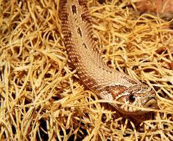 free photo animal snake reptile terrarium heterodon nasicus max