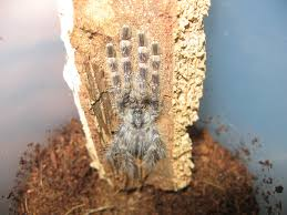 poecilotheria regalis indian ornamental heres my flickr