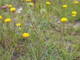 australian native plants sydney native seeds natural regeneration australia