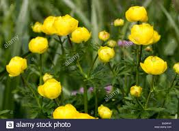 Image Of Spring Flowers by Yellow Globe Flowers Of The Spring Flowering Uk Native Trollius