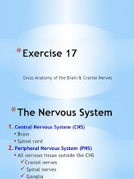 Exercise 17 Gross Anatomy Of The Brain And Cranial Nerves A U0026p I Exercise 17 Cerebrum Central Nervous System