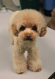 pictures of poodle haircuts formal hairstyles for poodle hairstyles best ideas about poodle