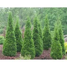 arborvitae trees bushes garden center the home depot