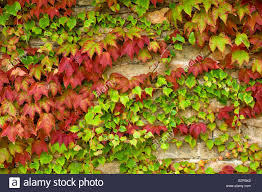climbing plant cover wall stock photo royalty free image