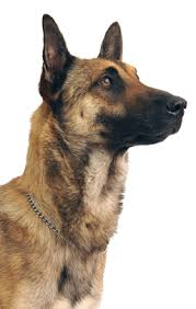 belgian sheepdog newsletter belgian shepherd malinois dog breed information noah u0027s dogs