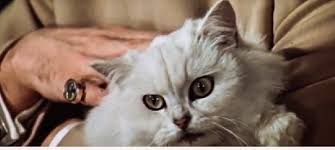 Persian Cat Meme - what cat breed will feature in the new james bond movie spectre