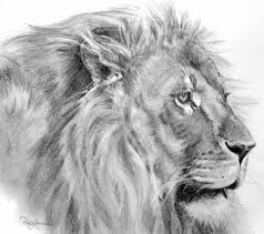photos pencil drawings of a lion drawing art gallery
