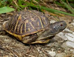 Texas Map Turtle Turtle Facts Mdc Discover Nature