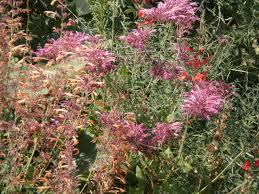 hummingbird plants u2014on sale now perennial favorites