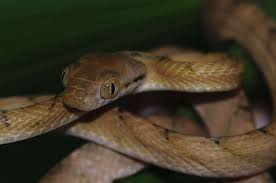 brown tree brown tree snake habitat diet reproduction sydney