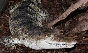 philippine crocodile smithsonian u0027s national zoo