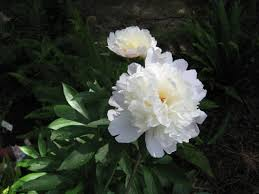 pianese flowers peonies how to plant grow and care for peony plants garden
