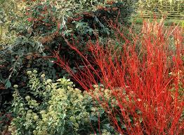 privet hedges growing tips for ligustrum shrubs