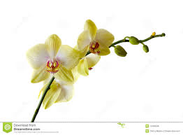 yellow orchid yellow orchid stock photo image of beautiful fragility 13496246