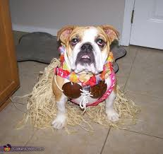 English Bulldog Halloween Costumes Hula Dog Costume Hula Dog