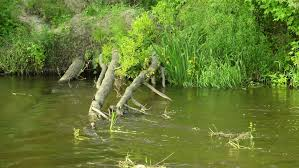a weeping willow tree sits to a lake and contemplates the