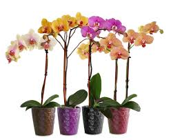 orchid pictures phalaenopsis orchids indoor flowers plant care rocket farms