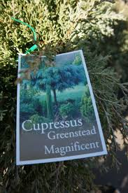 cupressus macrocarpa greenstead magnificent westlake nursery