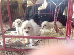 bichon frise kennels kennel club registerd bichon frise puppy sevenoaks kent
