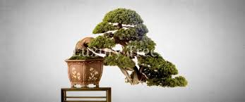 the most expensive bonsai trees luxurytrees