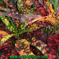 croton elaine codiaeum variegatum pictum statue tree