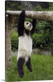Panda Meme Mascara - coolest 292 best pandas images on pinterest wallpaper site