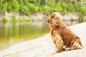 imagenes de english cocker spaniel 5 english cocker spaniel dog behaviors dog behaviors