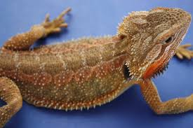 se england red green translucent bearded dragon reptile forums