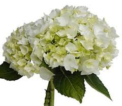 White Hydrangeas White Hydrangea Large In Columbus Oh Osuflowers Com