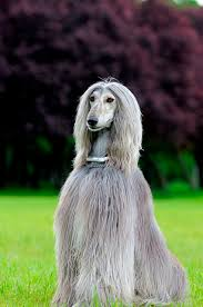 afghan hound weight afghan hounds dog world u0027s super models i can see turning into