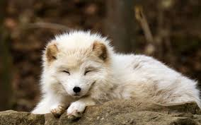 sleeping red fox wallpapers nature animals baby animals fox arctic fox wallpapers hd