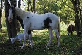 paint horse piebald
