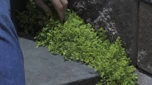 garden u0026 plant care how to grow moss for your garden youtube